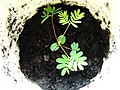 Mimosa-pudica-leaves.jpg