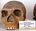 Modell eines Schädels des Homo steinheimensis (3).jpg