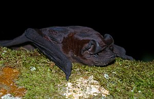 Bonda mastiff bat - Image: Molossus bondae