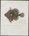 Monacanthus penicilligerus - 1700-1880 - Print - Iconographia Zoologica - Special Collections University of Amsterdam - UBA01 IZ15400163.tif