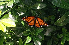 Monarch Butterfly Christchurch.jpg