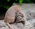 Mongoose pile.jpg