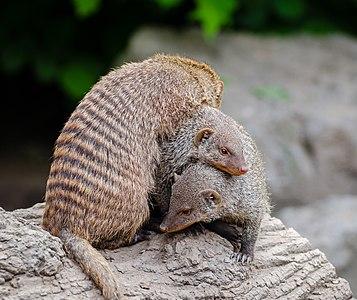Pile of banded mongooses(Mungos mungo)