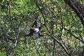 Mono Araña en el Cañón del Sumidero.JPG