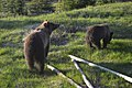 Montana Grizzly and cub.jpg