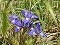 Moraea sisyrinchium (flowers).jpg