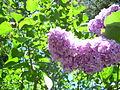 More flowers (3556307291).jpg