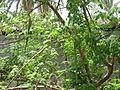 Moringa - മുരിങ്ങ മരം.JPG