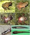 Morphology-Molecular-Genetics-and-Bioacoustics-Support-Two-New-Sympatric-Xenophrys-Toads-(Amphibia-pone.0093075.g005.jpg