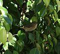 Mosquitero de Canarias (Phylloscopus canariensis) - Flickr - S. Rae.jpg