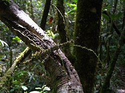 Moss-mimic Stick Insect (Antongilia laciniata), Mantadia National Park, Madagascar (4455223826).jpg