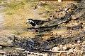 Motacilla alba (28365317098).jpg