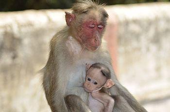 Mother Monkey Feeding Its Baby.jpg