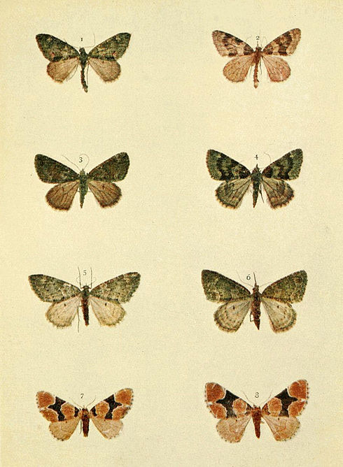 Moths of the British Isles Series2 Plate068.jpg