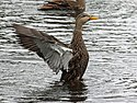 Mottled Duck male RWD2.jpg