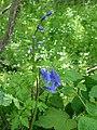 Moulicent Jacinthe des bois P1070153.JPG