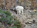 Mountain goat (15243367700).jpg