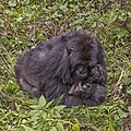 Mountain gorilla (Gorilla beringei beringei) mother with baby 3.jpg