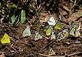 Mudpuddling Butterflies Chinnar WLS Kerala (73).jpg