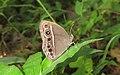 Mycalesis mineus – Dark-branded Bushbrown 01.jpg