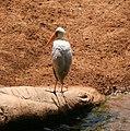 Mycteria cinerea in Fuengirola Zoo.jpg
