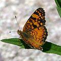 Mylitta Crescent - Phyciodes mylitta thebais. Melitaeinae - Flickr - gailhampshire (1).jpg
