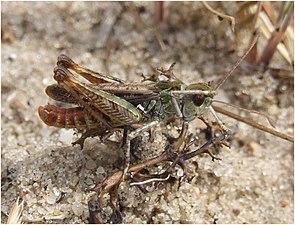 Gefleckte Keulenschrecke (Myrmeleotettix maculatus), Männchen