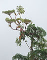 Myrrhidendron donnellsmithii, a tree from the Carrot Family (9474124043).jpg