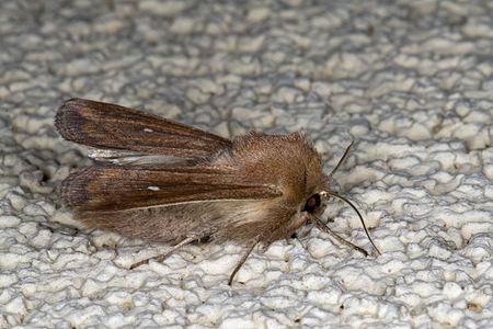 Mythimna albipuncta, Lodz(Poland)03(js).jpg