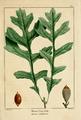 NAS-003 Quercus macrocarpa.png