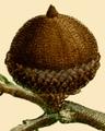 NAS-014f Quercus phellos acorn.png