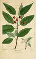 NAS-090 Prunus pensylvanica.png