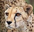 Naankuse animals - cheetah 9.jpg