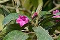 Nacedero - Guayacán morado (Delostoma integrifolium) - Flickr - Alejandro Bayer.jpg