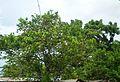 Naranjo. Parte de la flora del sector.JPG