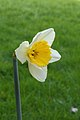 Narcis (Narcissus) 10.JPG