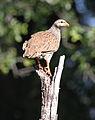 Natal Spurfowl (or Natal Francolin), Pternistis natalensis, at Mapungubwe National Park, South Africa (17580518243).jpg