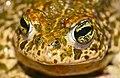 Natterjack Toad (Epidalea calamita) (41481865251).jpg