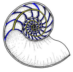 Evolution of molluscs - Image: Nautiloid septa n siphuncle 01