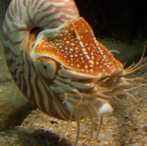 Nautilus tentacles