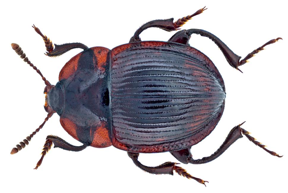 Necrophilus subterraneus (Dahl, 1807) (14954636326)