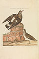 Nederlandsche vogelen (KB) - Arenaria interpres (291pl).jpg