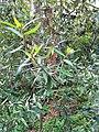 Nematolepis wilsonii.jpg