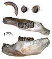 Neoadjidaumo arctozophus (JODA 16005).jpg