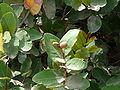 Neocarya macrophylla 0004.jpg