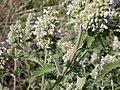 Nepeta cataria (5201377923).jpg