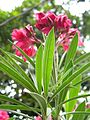 Nerium oleander 1.jpg