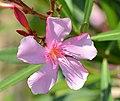 Nerium oleander 2421.jpg