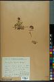 Neuchâtel Herbarium - Anthyllis cherleri - NEU000034019.jpg