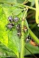 Nezara viridula nymphs - Southern Green Stink Bug nymphs (35395529731).jpg